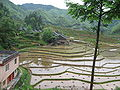 Rice field china3.jpg