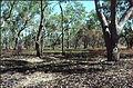 Riparian eucalyptus coolabah savanna.jpg