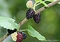 Ripening mulberries.jpg