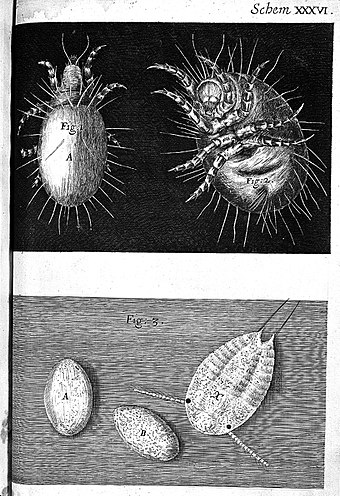 Mites and their eggs, drawn by Robert Hooke, Micrographia, 1665