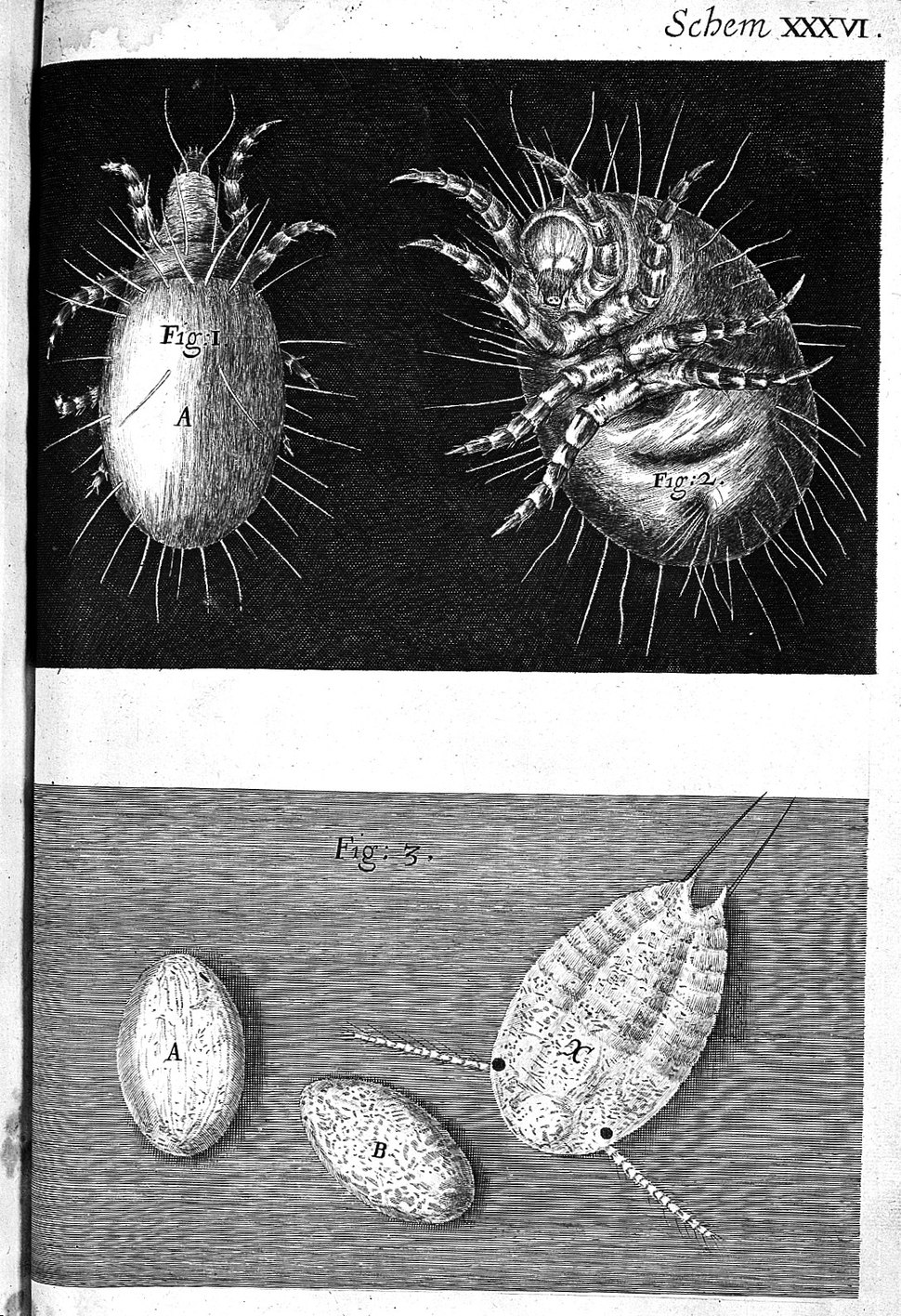 Robert Hooke, Micrographia, mites; eggs Wellcome L0000180
