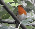 Robin (22105568731).jpg