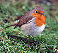Robin Redbreast at Greenwich Park, London.jpg