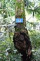 Robinia pseudoacacia - Chengdu Botanical Garden - Chengdu, China - DSC03658.JPG