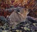 Rocky Mountain National Park in September 2011 - Tundra Communities Trail - vole.JPG