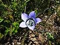 Roella ciliata (2).jpg