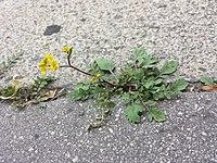 Rorippa sylvestris (s. str.) sl18.jpg