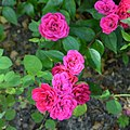 """Rosa """"Blue Parade"""" o POULbol. 01.jpg"""