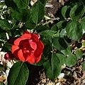 Rosa AM 562.jpg