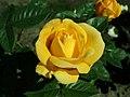 Rosa Arthur Bell 2019-05-29 4129.jpg