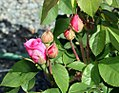 Rosa Gertrude Jekyll 1zz.jpg