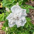 Rosa rugosa 'Blanc Double de Coubert' in Jardin des 5 sens (2).jpg