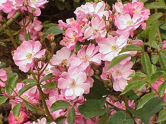 Rosa sp.306.jpg