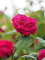 Rose, Éclair, バラ, エクレール, (12531478665).jpg