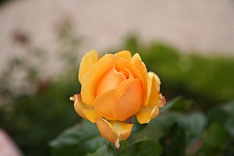 Rose Amber Queen 20070601.jpg