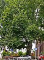 Buche-Rotbuche (Fagus sylvatica)