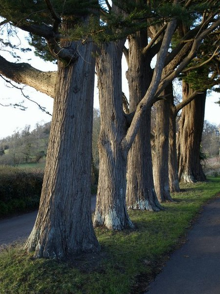 File:Row of trees, Brent Knoll - geograph.org.uk - 727069.jpg