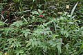 Rubus pinnata MS 3481.jpg