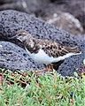 Ruddy Turnstone (4885193426).jpg