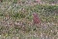 Ruddy ground dove-9651 - Flickr - Ragnhild & Neil Crawford.jpg