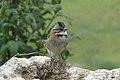 Rufous-collared Sparrow 2015-06-03 (6) (40310136481).jpg