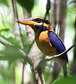 Rufous-collared kingfisher (Actenoides concretus) of Pelawan Forest, Namang Village, Bangka Island, Indonesia (cropped).jpg