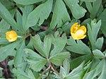 Ruhland, Grenzstr. 3, Gelbes Windröschen im Garten, Frühling, 06.jpg
