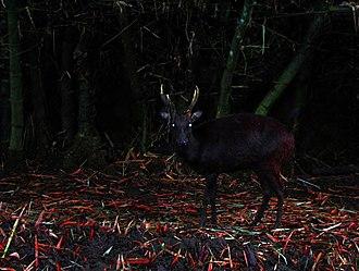 Philippine deer - Image: Rusa marianna by Gregg Yan 02