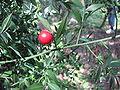 Ruscus aculeatus14.jpg