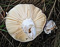 Russula sp - Flickr - gailhampshire (4).jpg