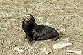 SGI-2016-South Georgia (Fortuna Bay)–Antarctic fur seal (Arctocephalus gazella) 02.jpg