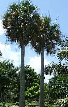 Sabal Causiarum Wikipedia