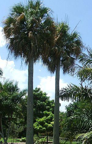 Sabal causiarum - Sabal causiarum at Fairchild Tropical Botanic Garden, Coral Gables, Florida, United States