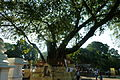 Sacred Bo Tree of Gatambe.JPG