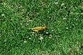 Saffron Finch 2015-06-02 (17) (25437619377).jpg
