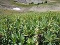 Salix eastwoodiae (24506444752).jpg