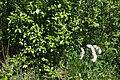 Salix phylicifolia I9676 Kiiltopaju C.JPG