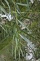 Salix viminalis berry-au-bac 02 01062007 2.jpg