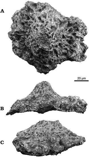 Saltasaurus - A large osteoderm