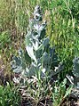 Salvia aethiopis-4.jpg