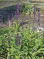 Salvia farinacea1.jpg