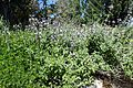 Salvia fruticosa kz5.jpg