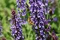 Salvia nemorosa Blue Hill 5zz.jpg
