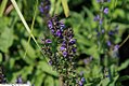 Salvia nemorosa Marcus 2zz.jpg