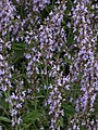 Salvia officinalis 6b.jpg