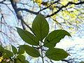 Sambucus nigra (2).JPG