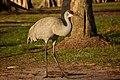 Sandhill Crane (Grus canadensis pratensis) (6852440498).jpg