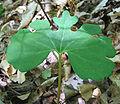 Sanguinaria canadensis - bloodroot - desc-large leaf.jpg