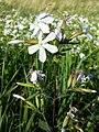 Saponaria officinalis sl11.jpg