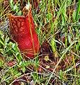 Sarracenia purpurea & Drosera rotundifolia (9451628716).jpg